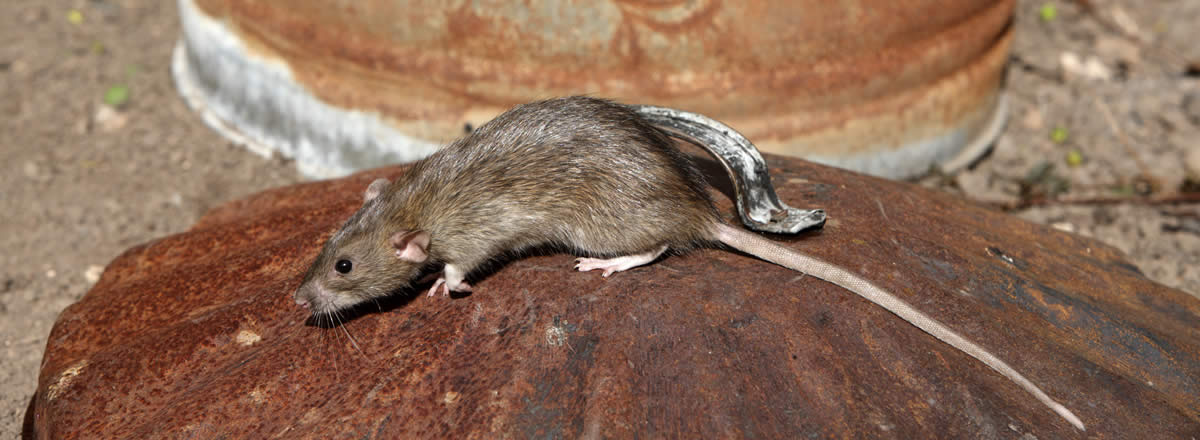 How to Prevent Rats | Rentokil Initial China Pest Control